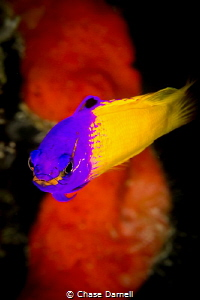 """""""All Business""""  This small reef fish sure does have a pe... by Chase Darnell"""