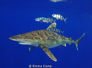 Oceanic whitetip with pilot fish by Emma Camp