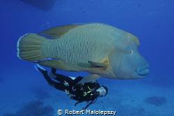 Giant Napoleon Fish by Robert Malolepszy