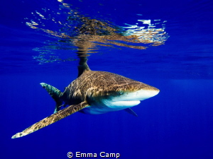 Oceanic white-tip on the surface, creating the nice refle... by Emma Camp