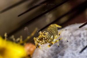 """Bumble Bee Shrimp with Urchin"" by Wayne Jones"