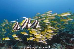 Bannerfishes with shoal of snappers by Marteyne Van Well