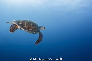 Green turtle by Marteyne Van Well