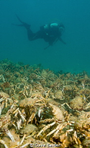 The annual spider crab migration with diver by Dave Baxter