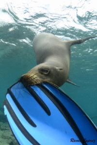 Tasting time :-) Playful sea lion by Raoul Caprez
