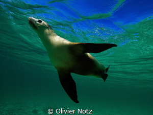 Female Sea Lion playful swimming at Jurien Bay by Olivier Notz