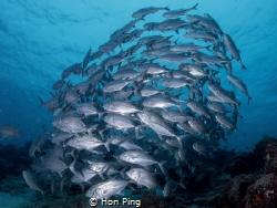 Schooling jack fish at Mataking housereef by Hon Ping