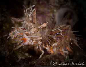 Tiger Shrimp by James Deverich