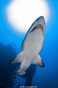 Sunny Sand Tiger Silhouette A sand tiger shark swims und... by Tanya Houppermans