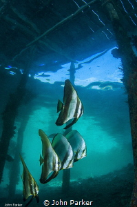 Batfish at Arborek Jetty by John Parker