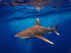 Oceanic White Tip in Rough Seas - May 2014 by Jan Morton