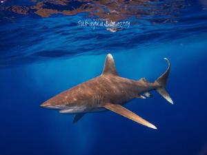 Oceanic White Tip in Rough Seas - May 2014 by Jan Morton