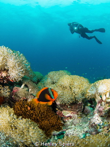 Tomato Anemonefish & Diver by Henley Spiers