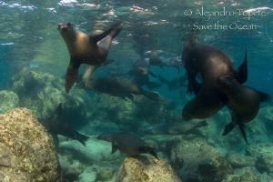 Sea Lion Family, Los Islotes Mexico by Alejandro Topete
