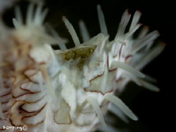 Ornate ghost pipefish (Solenostomus paradoxus) eggs in th... by Hon Ping