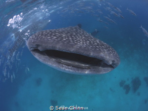 Smile for the camera. My 1st whale shark encounters and I... by Sean Chinn
