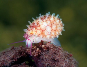 Diminovula culmen, rigged egg cowrie. by James Deverich
