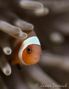 Juvi Clown fish contemplating life by James Deverich