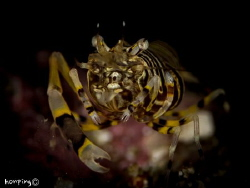 Bumble Bee Shrimp (Gnathophyllum americanum) size about 4mm. by Hon Ping