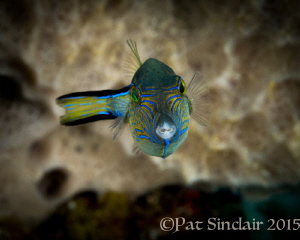 Sharpnosed Pufferfish - these are everywhere in Roatan in... by Patricia Sinclair