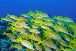 School of Bluestripe snapper. by Tomas Woren