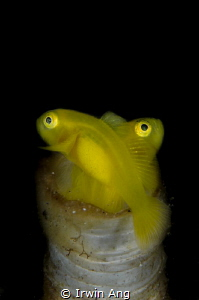 X - S T Y L E Yellow clown goby with eggs (Gobiodon okin... by Irwin Ang