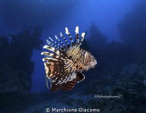 Lion Fish portrait Nikon D800E, 17-35mm Nikon Seacam ho... by Marchione Giacomo