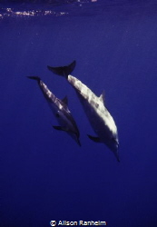 Big Island Hawaii, baby & mama dolphin #2 by Alison Ranheim