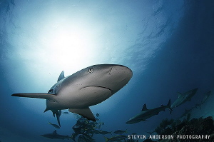 There are plenty of Reef Sharks in the Bahamas guarding t... by Steven Anderson