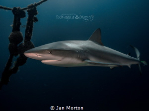 Shark on the Ray of Hope by Jan Morton