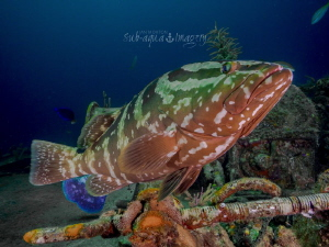 Nassau Grouper on the Ray of Hope bow by Jan Morton