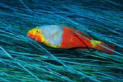 """""""Speed"""". A canarian parrot-fish flying over the sea-grass... by Arthur Telle Thiemann"""