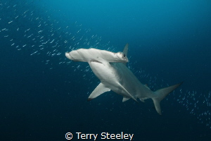 Hammer time. The über shy scalloped hammerhead shark was ... by Terry Steeley