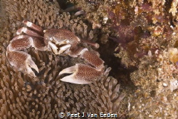 Porcelain Crab guarding its home  by Peet J Van Eeden
