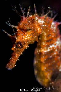 Hippocampus guttulatus by Marco Gargiulo