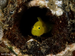 Yellow goby home alone by Hon Ping