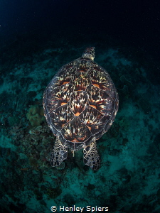 Green Turtle Shell by Henley Spiers
