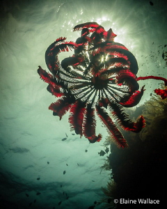 Crinoid near the top of the wall. by Elaine Wallace