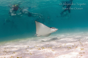 Eagle Ray with snorkelers, Akumal Mexico by Alejandro Topete