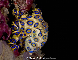 Beautiful blue ring I found by myself on a night dive on ... by Sean Chinn
