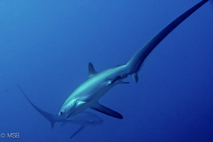 Crossing thresher sharks in Malapascua, very early mornin... by Mehmet Salih Bilal