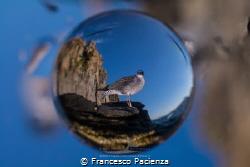 [:b:]Emisphere[:/b:] Seagull by Francesco Pacienza
