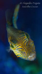Litle friend in purple, Turneffe Island Belize by Alejandro Topete