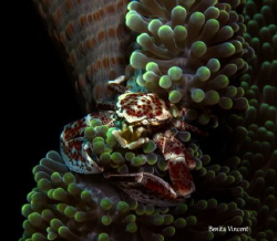 Anemone crab, Bunaken Island Indonesia by Benita Vincent
