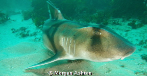 Port Jackson Shark by Morgan Ashton