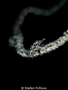 Keep on hanging on ... ! Xeno Crab - Xenocarcinus tubercu... by Stefan Follows