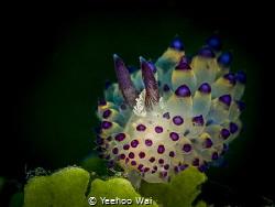Janolus savinkini Anilao, Philippines by Yeehoo Wai