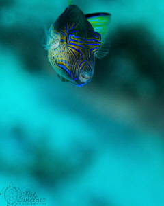 Lovely little sharpnose pufferfish decided to swim toward... by Patricia Sinclair