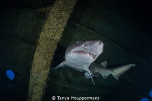 Tanker Tour Guide A sand tiger shark swims through the i... by Tanya Houppermans