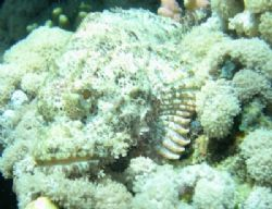 Scorpionfish taken with Nikon Coolpix 4300 in Nabq Park, ... by Nikki Van Veelen